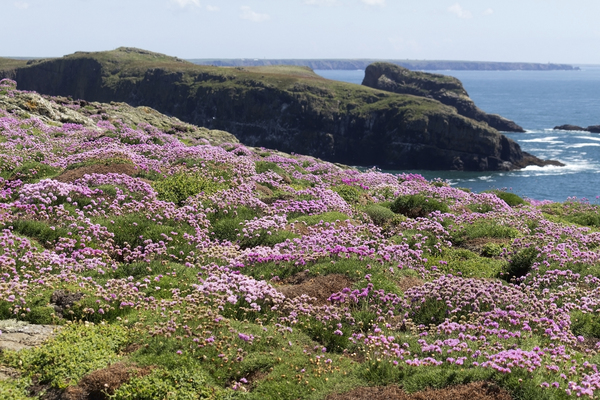 Coastal flowers: Wild thrift (Armeria maritima) growing on the coast of Skomer Island, Pembrokeshire, Wales.