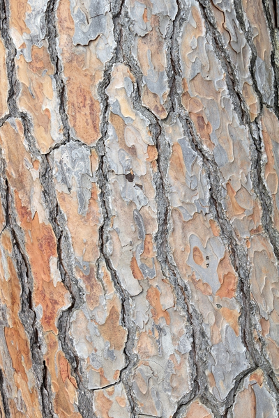 Bark texture: Bark of a stone pine in Spain.