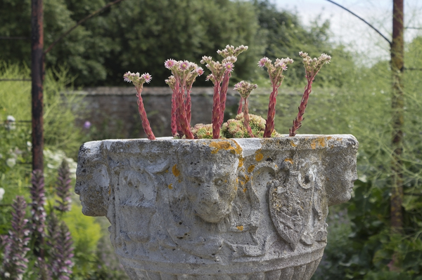 Ornamental urn: An ornamental urn containing houseleeks (Sempervivum) in a garden in West Sussex, England.