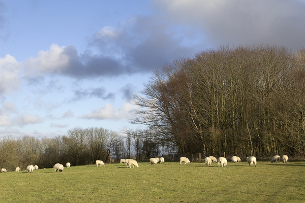 Grazing sheep: Sheep in a meadow on the South Downs, West Sussex, England.