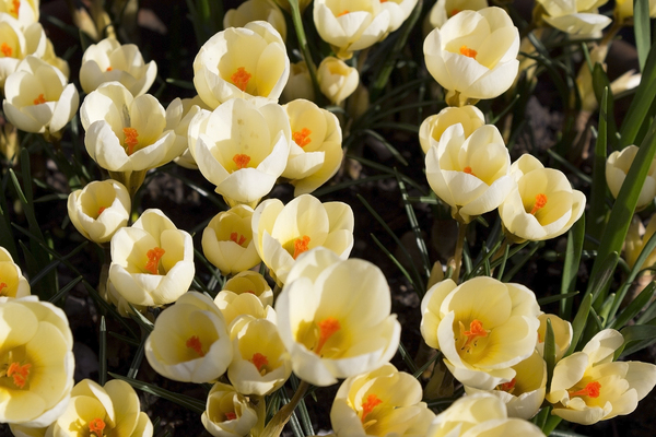 Spring flowers: Crocus flowers in spring in a garden border in England.
