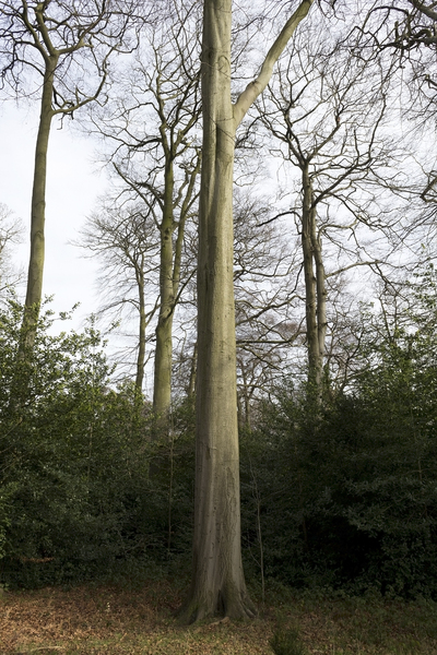 Tall trees: Tall beech (Fagus sylvatica) trees in England in winter.