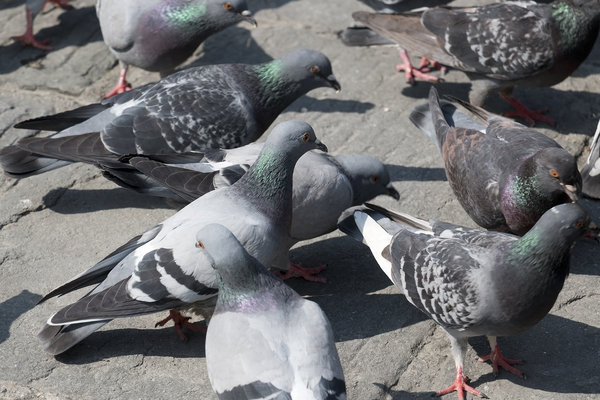 Pigeons: Pigeons being fed at a tourist site in Italy.