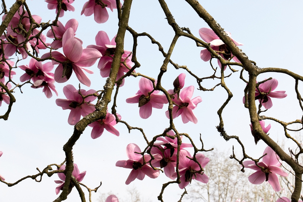 Magnolia flowers: Magnolia flowers in a garden in West Sussex, England, in spring.
