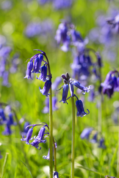 Bluebells: Bluebells (Hyacinthoides non-scripta) in West Sussex, England, in spring.
