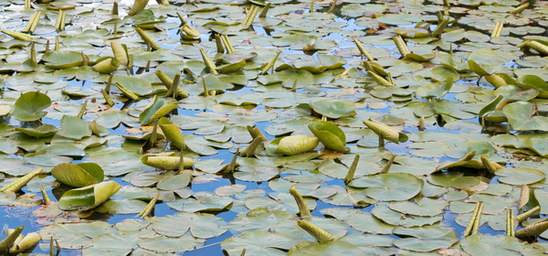 Water lily pads: A water lily pond in England in spring, with fresh tube-shaped leaves emerging onto the water surface.