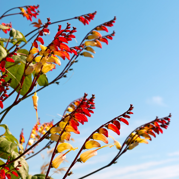 Mina flowers: Flowers of Mina lobata (also called Ipomoea lobata or Spanish Flag) in a garden in England.