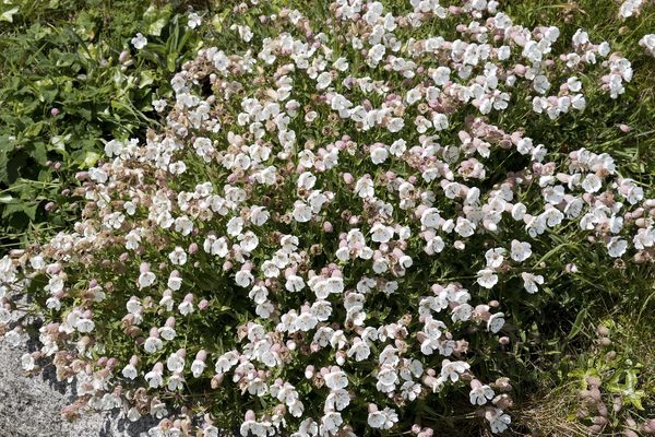 Sea campion flowers: Sea campion (Silene) flowers on the coast of Cornwall, England.