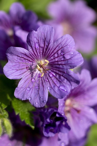Flower with raindrops: A geranium flower in a garden in England after summer rain.