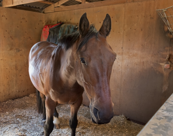 Horse: A horse in a stable at a riding school.