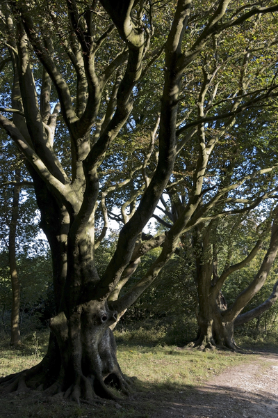 Old beech trees: Old beech (Fagus sylvatica) trees on the South Downs, West Sussex, England.