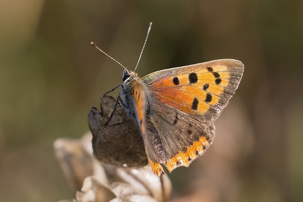 Small copper butterfly: A small copper butterfly (Lycaena phlaeas) on the South Downs, West Sussex, England.