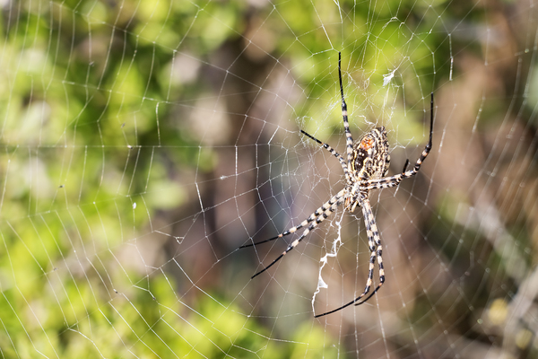 Spider and web: A large European spider (legspan c. 50mm) in its web on a wetlands nature reserve in Majorca.
