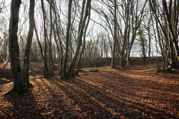 Winter woodland: Deciduous ghyll woodland in winter in West Sussex, England.