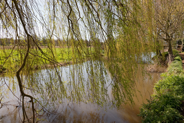 River with willow trees: Weeping willow (Salix) trees by a river in Surrey, England, in spring.