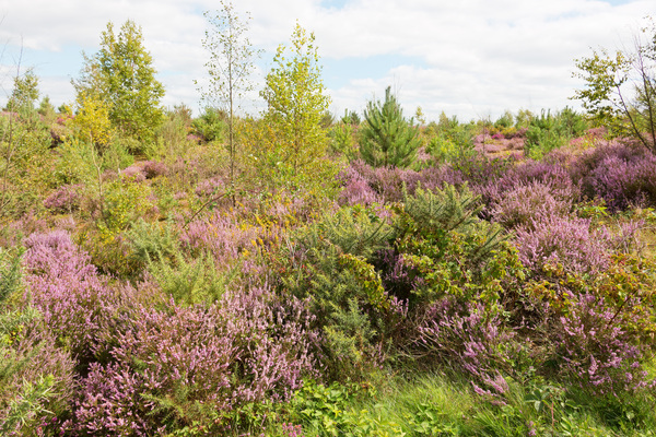 Heath landscape: Heath landscape with heather (Calluna) in flower on Frensham Common, Surrey, England.