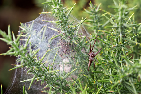 Spider with young: A female spider guarding its young in their web on heathland in Surrey, England.