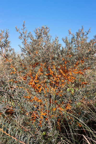 Sea Buckthorn: Wild Sea Buckthorn (Hippophae rhamnoides) with edible berries at Camber Sands, East Sussex, England.