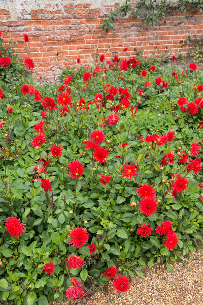 Red dahlias: Red dahlias in a walled garden in Norfolk, England.