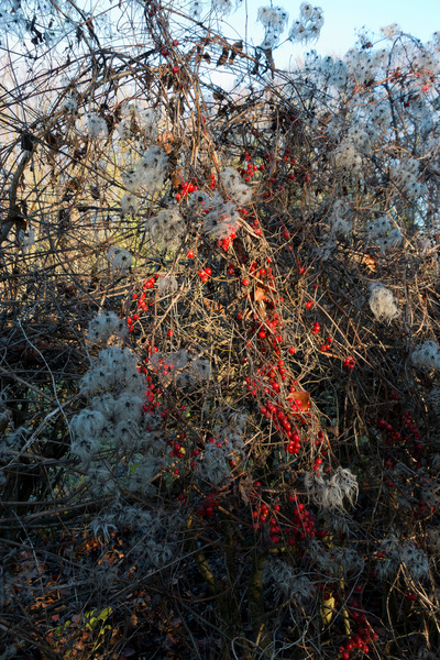 Winter hedgerow: A hedgerow in Surrey, England, in winter with berries of black bryony (Tamus communis) and seedheads of traveller's joy (Clematis).