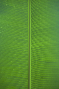 Banana Leaf: No description