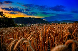 Cornfield in the Evening: A golden colored cornfield in the late summer evening