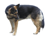 German Shepherd: A dog isolated