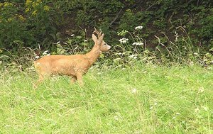 Roe-deer: Just a wild roe-deer, I spotted during the walk.Please mail me or comment this photo if you decided to use it. Thanks...I would be happy to receive the information about picture usage. I would be extremely happy to see the final work even if you think it