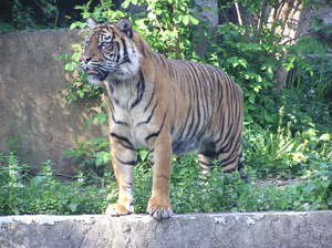 Tiger: A huge cat in Warsaw's zoo.