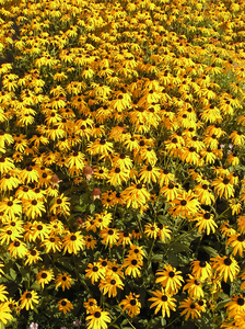 Yellow flowers: Some flowers on a meadow.