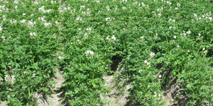 Potato field: A potato field.