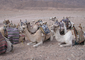 Bunch of camels: A pack of camels on a desert.