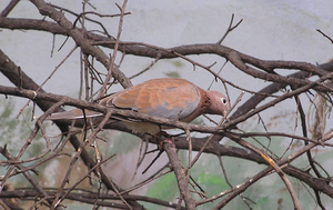 Pigeon: A brown pigeon on a twig.