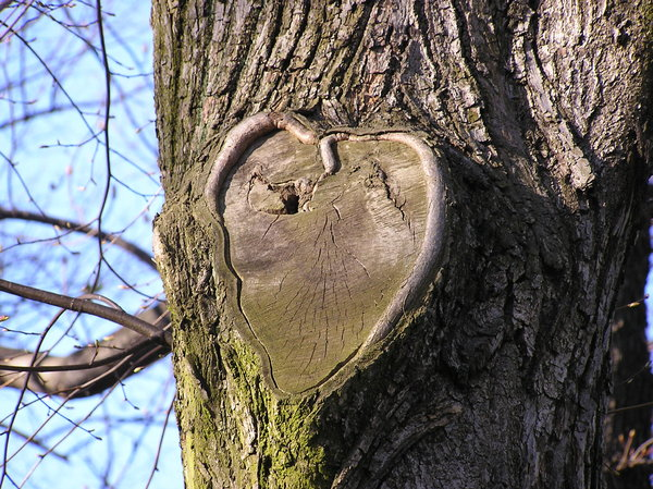 A tree's heart: A heart on the tree. Amazing, isn't it? I found it during a walk in Jablonna park in Poland.Please mail me if you found it useful. Just to let me know!I would be extremely happy to see the final work even if you think it is nothing special! For me it is (