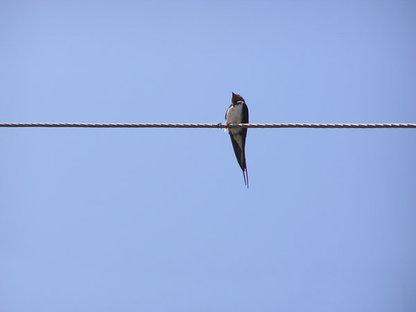 Bird on a wire: A bird sitting on a wire. Or standing? I dunno. Please let me know if you decide to use it!