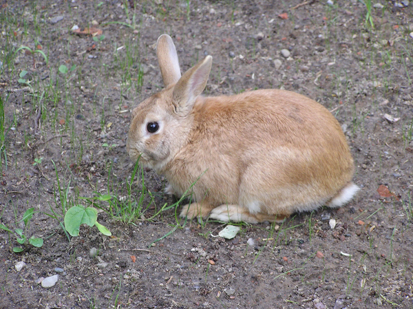 A rabbit: A rabbit eating some grass.