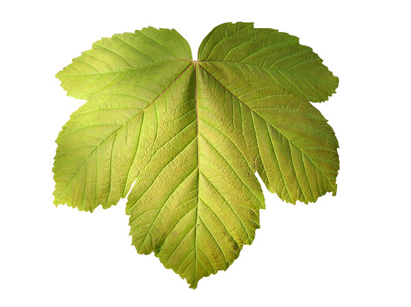Leaf: A green leaf isolated.