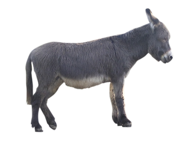 Donkey: A donkey isolated
