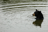 Taking a bath: Black bear taking a bath
