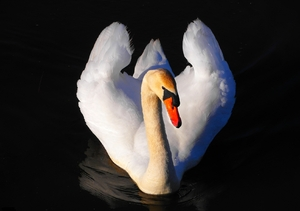 White Beauty3: Another shot for this beautiful swan