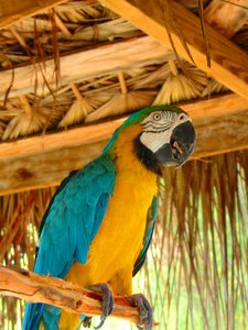 Grand Cayman parrot: This parrot lives and feeds at a local cafe at Rum Point, Grand Cayman