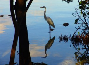 Reflection of Crane in the Man: Crane and reflection early morning Mangrove in Key Largo, Florida.