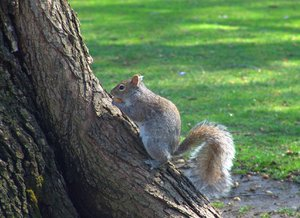 American Gray Squirrel: American Gray Squirrel in New England's Boston downtown Public Park, located next to the Boston Common Park.  The Gray American Squirrels are very friendly.