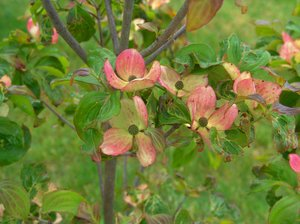 Blushing Dogwood: This dogwoods flowers appear as if someone painted the petals with a hint of pink and green as well as the edges of the new leaves.