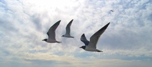 Seagulls on the wing: Seagulls in flight over Oak Island, North Carolina on a cloudy spring day.