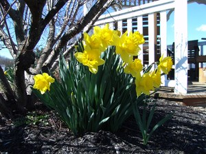 Garden Daffodil Sunshine: Such a happy flower one of the first to appear in the early Spring along with Crocus and Tulips.