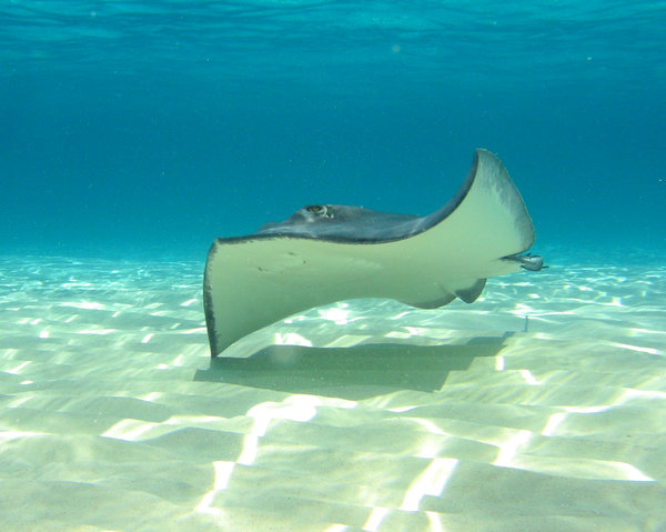Grand Cayman stingray: Snorkling with Stingrays at Stingray City - in Grand Cayman
