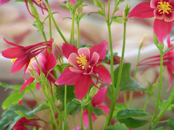 Origami Red & White Columbine: Origami Red & White Columbine plant makes a wonderful splash of color on your deck or in your flowerbed with Spring blooms.