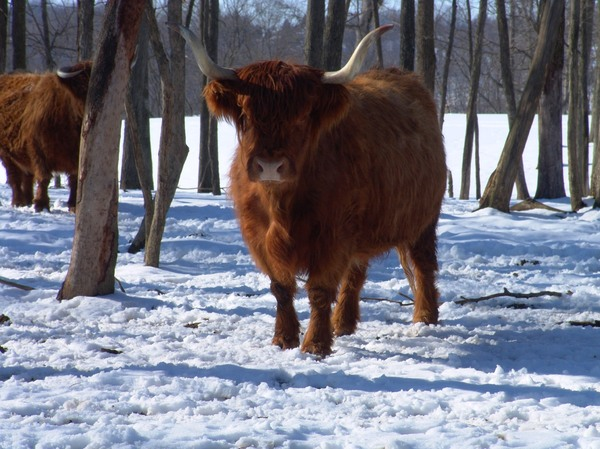Wintertime on the Farm: Scotch Highland Cattle enjoying the wintertime on a farm in the Ohio Valley.