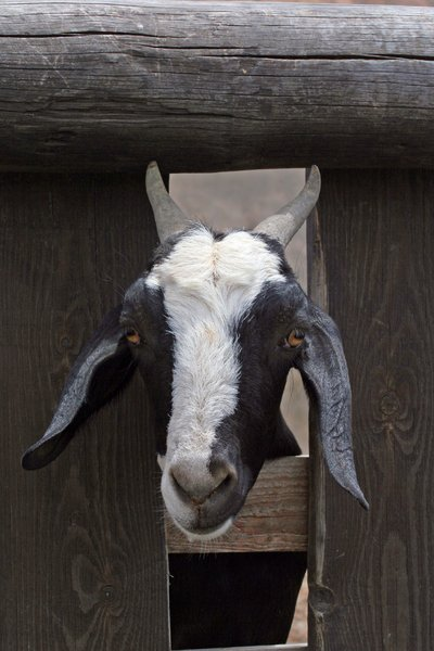 Goat Looking Through Fence: A goat stares out of his pen.